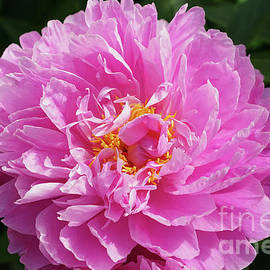 Pink Peony Elegance by Jane Tomlin