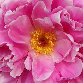 Pink Peony Flower  by Marlin and Laura Hum