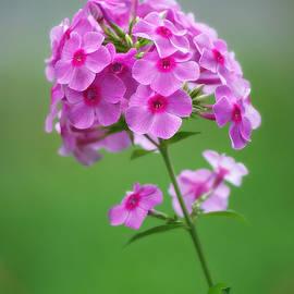 Pink Phlox by Marilyn De Block