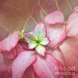 Pink Poinsettia Textures by Amy Dundon