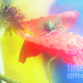 Pink Poppy Artfully. by Alexander Vinogradov