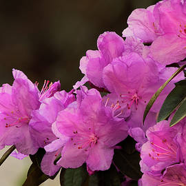 Pink Rhododendron by Denise Harty