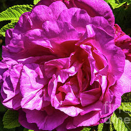 Pink Rosa Gallica by Ruth H Curtis