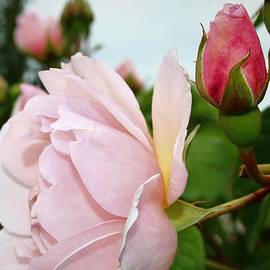 Pink rose babe and bud by Loretta S