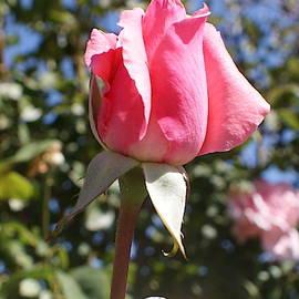 Pink Rosebud by Georgia Threet
