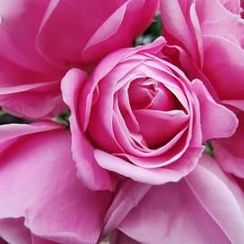 Pink roses by Chirila Corina