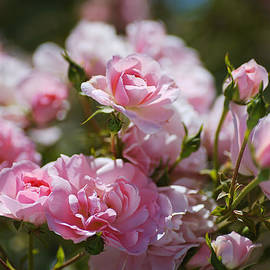 Pink Roses Spring Romance  by Joy Watson