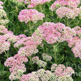 Pink Stonecrop Sedum in Bloom by Regina Geoghan