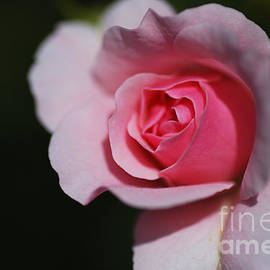 Pink Summer Rose by Joy Watson