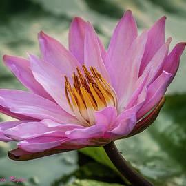 Pink Water Lily by Karen Regan