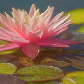 Pink Water Lily Panorama by Teresa Wilson
