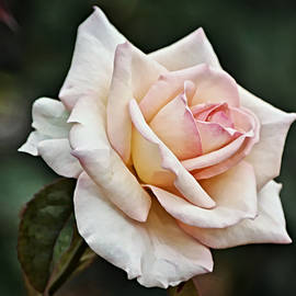 Pink White Rose Bloom by Gaby Ethington