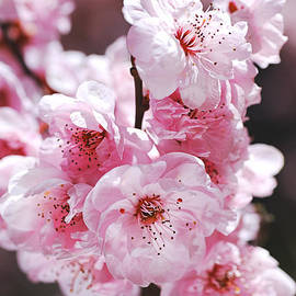 Pinks of Blossom Prunus by Joy Watson