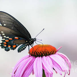 Pipevine Swallowtail by Megan McCarty