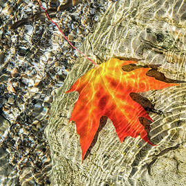Playful Patterns - Maple Leaf in Bold Yellow Orange and Vermilion Floating Underwater by Georgia Mizuleva