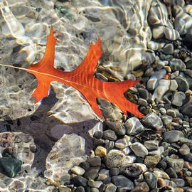 Playful Patterns - Slender Oak Leaf in Bold Vermilion Floating Underwater by Georgia Mizuleva