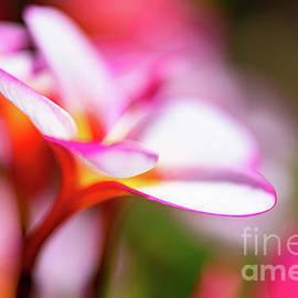 Plumeria Dreams in Sunny Hawaii by Phillip Espinasse