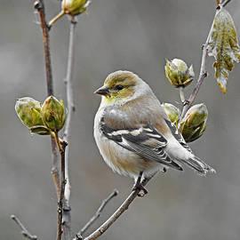 Plump Goldfinch by Carmen Macuga