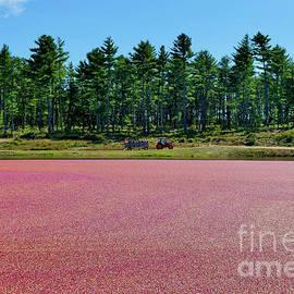 Plymouth Massachusetts Cranberry Harvest Festival Cranberry Bog by Forward Prints