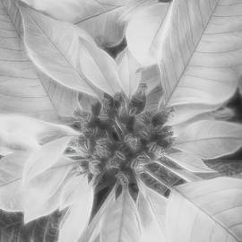Poinsettia in Black and White by Teresa Wilson