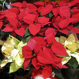 Poinsettia Pleasure by David Zimmerman