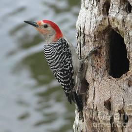 Poised Papa Red Bellied Woodpecker by Barbie Corbett-Newmin