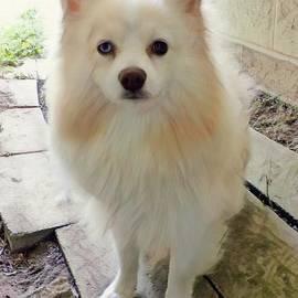 Pomeranian Puppy by Elizabeth Duggan
