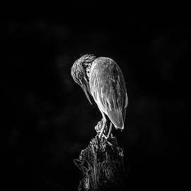 Pond Heron Preening by Pravine Chester