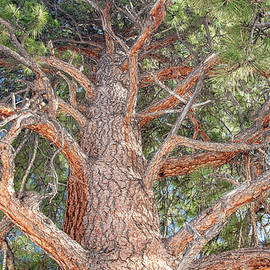 Ponderosa Pine Perspective by Marcy Wielfaert