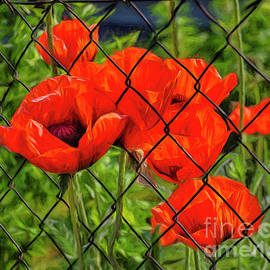 Poppies Behind a Fence by Norman Gabitzsch