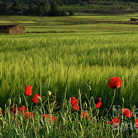 Poppies in field with shepherds hut by Vicente Sargues