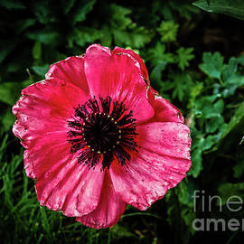 Poppy Close Up by Robert Bales