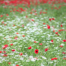 Poppy Field by Alex Donnelly
