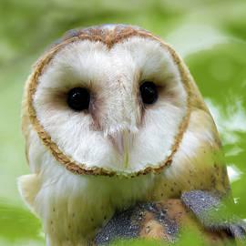 Portrait of a Barn Owl by Judi Dressler