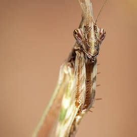 Portrait of a Conehead Mantis by Thierry Baudin