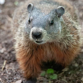 Portrait of a Groundhog by Lieve Snellings