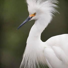 Portrait of a Snowy Egret by Linda D Lester