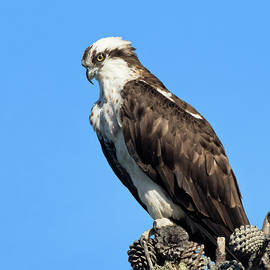 Portrait of an Osprey Perched atop a Cluster of Pine Cones on a Dead Snag  by Kathleen Bishop