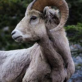 Portrait of Bighorn Sheep by Marta Kazmierska
