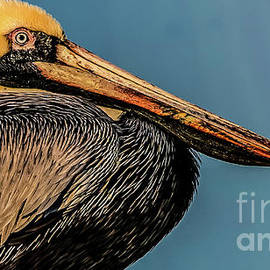 Portrait of Brown Pelican by RC- Photography LLC