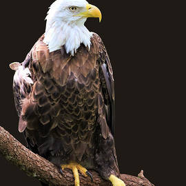 Portrait Of The Bald Eagle by Diann Fisher