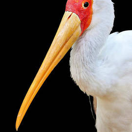 Portrait Of Yellow-billed Stork by Diann Fisher