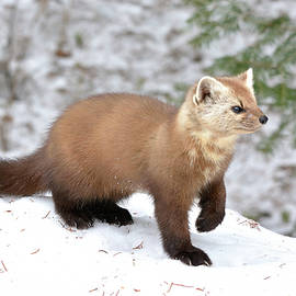 Portrait Pose- American Pine Marten by David Porteus