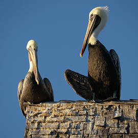 Posing Pelican Pair by Tina Giammarco Horne