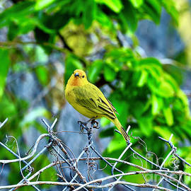 Posing Saffron Finch by Craig Wood