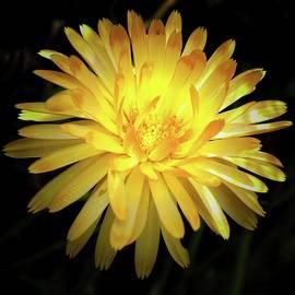 Pot Marigold 1 - Dramatic by Daniel Beard