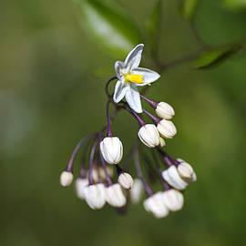 Potato Vine White Flower by Joy Watson