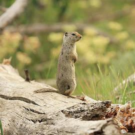Prairie Dog On a Log by Kelly Pennington