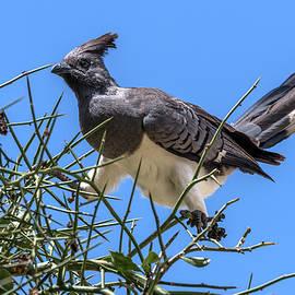 Precarious Perch - White-bellied Go-away Bird by Eric Albrightus Perch -