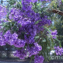 Precious Purple of the Jacaranda tree  by TeAnne Pantony